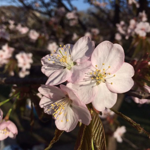 (English) Sakura are finally blooming!